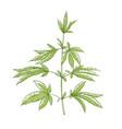 marijuana green plant medical natural herb vector image
