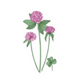 clover or trefoil flowers and leaves isolated on vector image vector image