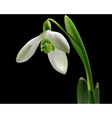 snowdrop with green leaves vector image
