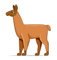 llama standing on a white background vector image vector image