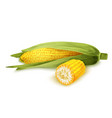 Corn stalk isolated vector image vector image