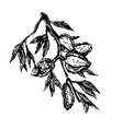 branch with almonds nuts plant hand draw vector image