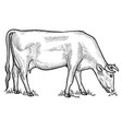 cow grazing on meadow vector image