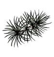 pine or cedar tree branch ink vector image vector image