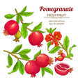 pomegranate branches set vector image