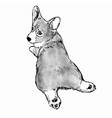 pembroke welsh corgi dog vector image