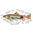 Rainbow trout anatomy vector image