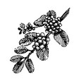 branch with coffee beans plant hand draw vector image vector image