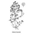 galium boreale handdrawn vector image vector image