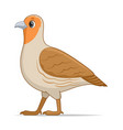 grey partridge bird on a white background vector image vector image