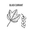 berry hand drawn collection black currant vector image vector image