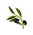 small sprig with three black olives and green vector image vector image