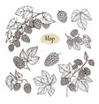 hop plant branch with leaves and lump of hops in vector image vector image