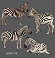 set of realistic zebras in various postures vector image vector image