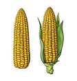 set of ripe corn cobs vector image