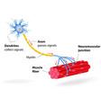 motor neuron vector image vector image