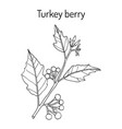 turkey berry solanum torvum culinary and medicinal vector image vector image