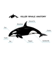 Killer Whale Anatomy vector image vector image