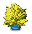 bouquet of mimosa in blue flowerpot spring vector image vector image