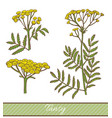 colored tansy in hand drawn style vector image vector image