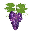fresh bunch of grapes purple vector image vector image