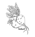 hand drawn beetroots isolated beet roots vector image