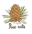 Pine nuts and pine cones Hand drawn Isolated vector image vector image