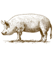 engraving big pig vector image vector image