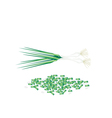 Fresh Green Spring Onion on White Background vector image vector image