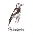 woodpecker sketch vector image