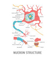 cartoon structure of a neuron vector image vector image