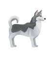 adult siberian husky standing in rack side view vector image