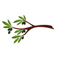 olive tree branch with berries and leaves vector image