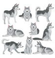flat set of siberian husky in different