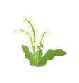 white lilies of valley growing in flowerbed on vector image