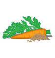 carrots vector image vector image