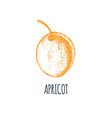 hand drawn apricot on white background vector image vector image