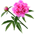 Red realistic paeonia flower with leaves and bud vector image