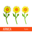 arnica flower set different styles vector image