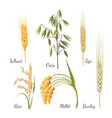 barley wheat rye rice millet and green oat vector image vector image