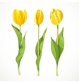 Three yellow tulips isolated on a white vector image vector image