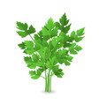 realistic detailed 3d green raw parsley vector image