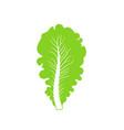 lettuce vector image