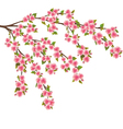 Sakura blossom Japanese cherry tree isolated vector image vector image