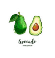 avocado drawing hand drawn avocado vector image vector image
