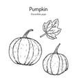 pumpkin cucurbita pepo edible and medicinal plant vector image