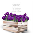 violet tulip flowers box vector image vector image