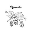 raspberries harvest black ink sketch vector image
