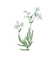 beautiful botanical drawing of silene vulgaris or vector image vector image