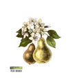 hand drawn pear branch with flowers and fruits vector image